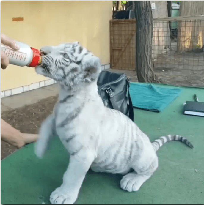 baby white tiger drinking from a bottle