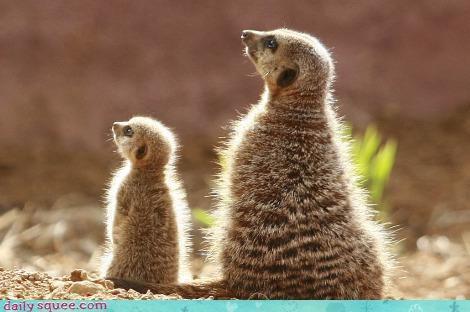 baby,meerkat,yoga