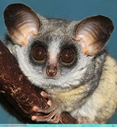 bat lemur what is it