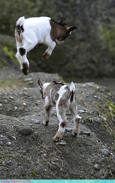 baby goat pygmy goat - 3445191424