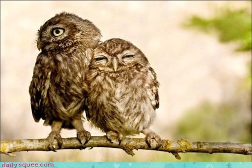 birds,cuddle,owls