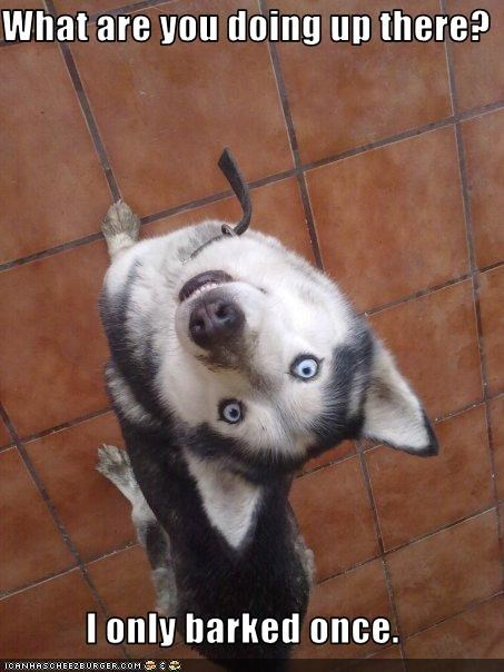barked ceiling confused dont-understand husky only once what are you doing - 3451416064