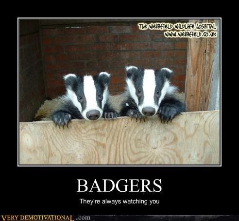 animals badgers watching - 3451928832