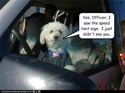 bischon frise driving police van - 3453012992