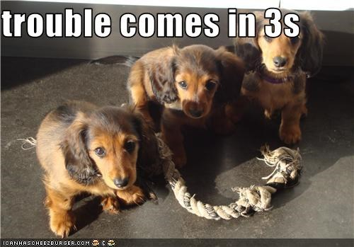 3,cute,puppy,rope,spaniel,three,toy,trouble