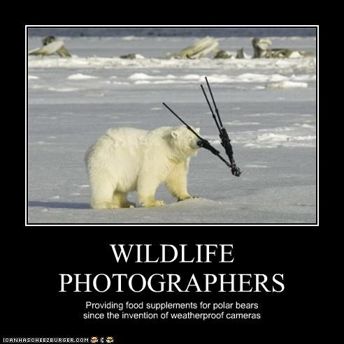 WILDLIFE PHOTOGRAPHERS Providing food supplements for polar bears since the invention of weatherproof cameras