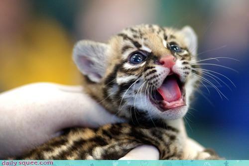 cub kitten ocelot - 3466330880