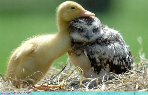 duck face Owl - 3467331328