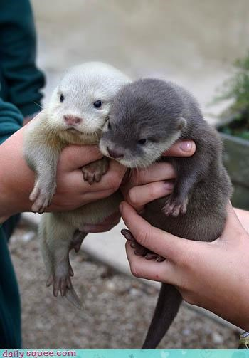 baby otters squee spree - 3468327168