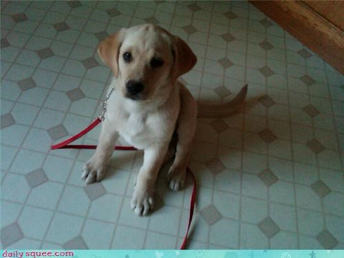lab Labraday puppy - 3472764416