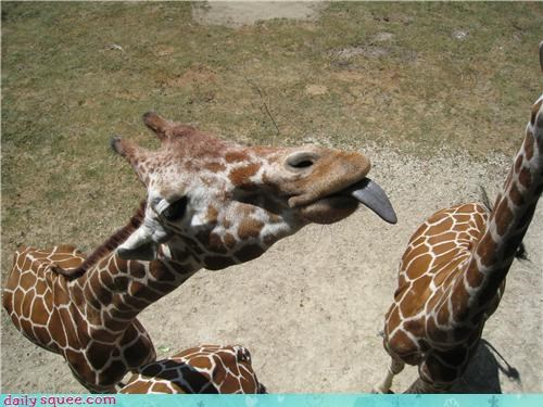 giraffes,lick,sometimes my captions are mediocre