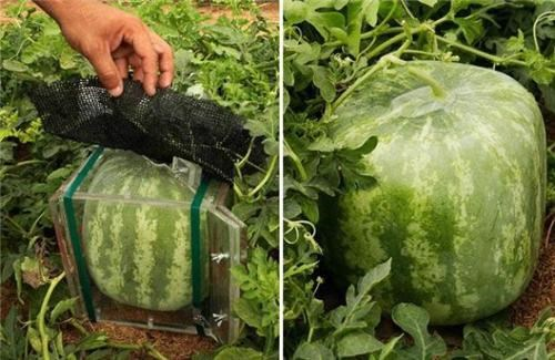 box,designer fruit,fruits-veggies,How To,Japan,Square,square watermelon,watermelon