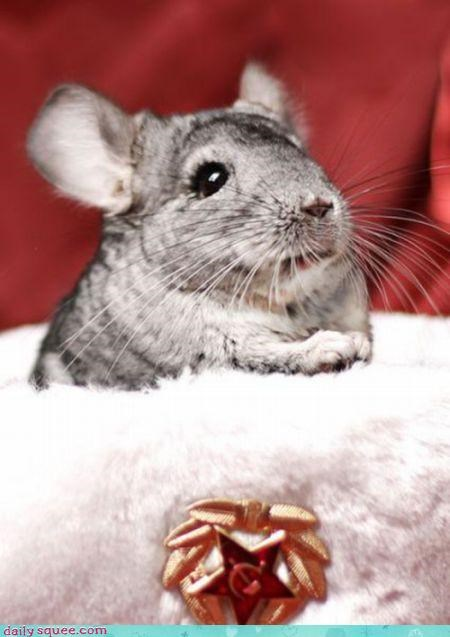 chinchilla cute nerd jokes - 3474283008
