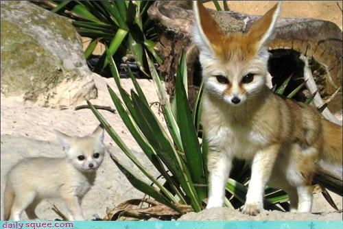 fennec,fox,momma