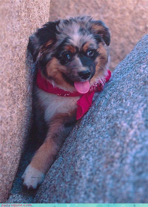 australian shepherd Labraday puppy - 3486298112