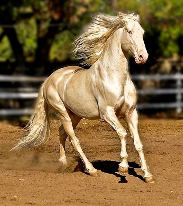 rare golden horses