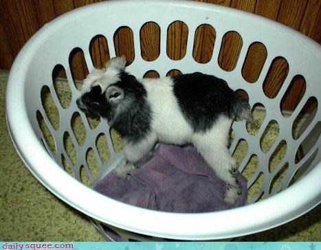 goat kid so tiny - 3491139072