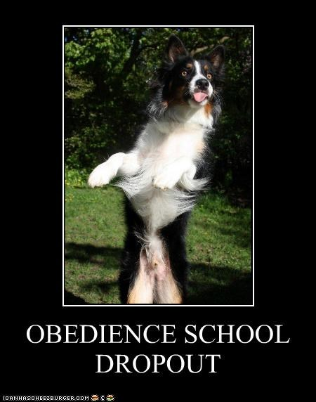 australian shepherd obedience school stand tongue trick