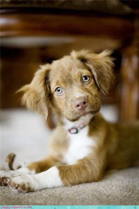 Labraday puppy - 3499564544