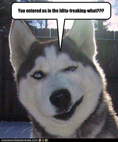 Hall of Fame husky iditarod outside skeptical snow - 3501466624