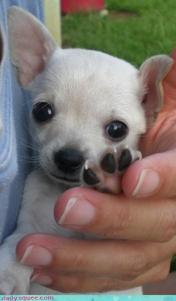 chihuahua dogs toes - 3507548416