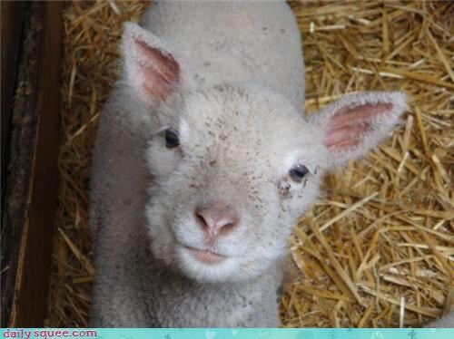 farm hay lamb - 3509315328