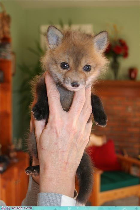 baby,face,fox