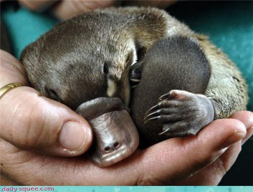 cuddly facts platypus - 3513179904