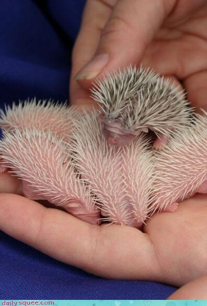 Babies hedgehog lets do this - 3513184768