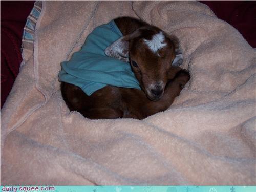 face goat nubian - 3513262848