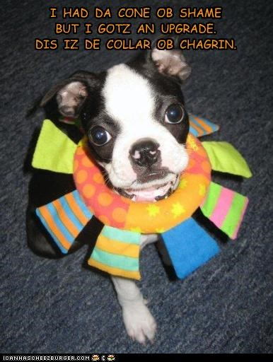 boston terrier,collar of chagrin,cone,Hall of Fame,neck,puppy,toy
