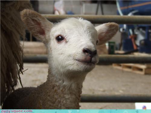 face lamb smirk - 3524360960