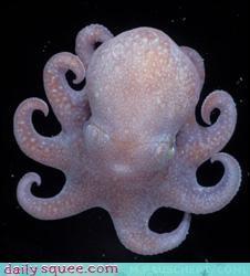 baby cephalopod octopus - 3525118976