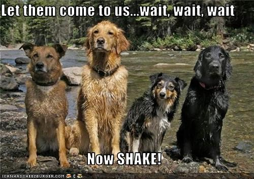 australian shepherd,golden retriever,river,shake,shepherd mix,wet