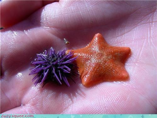 baby Sea Urchin starfish - 3528852992