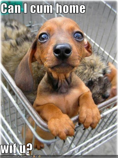 adopt cart dachshund Sad