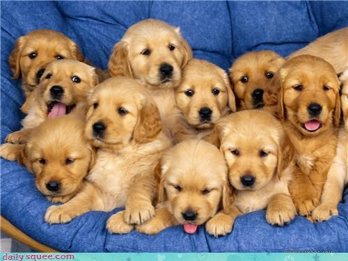 face golden retriever puppy - 3535513856