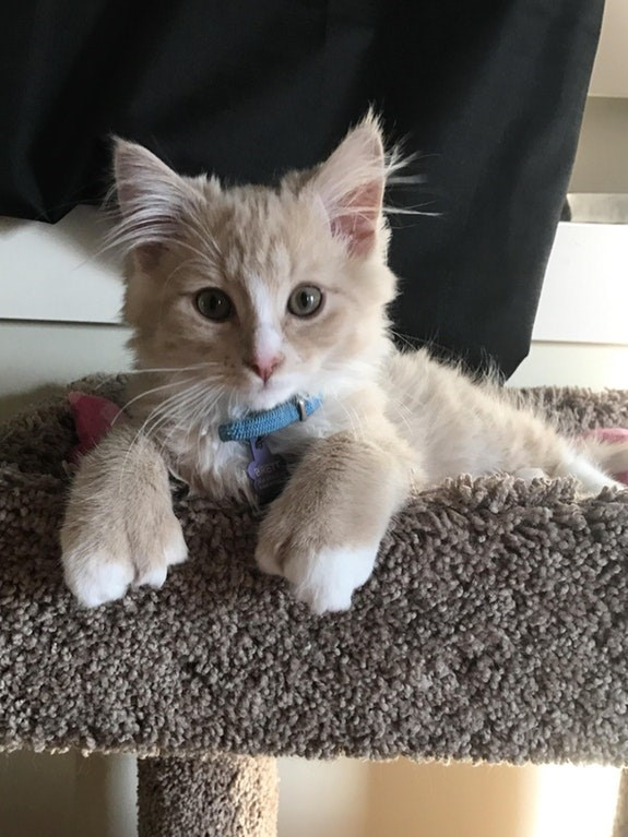 a cute kitten with thumbs