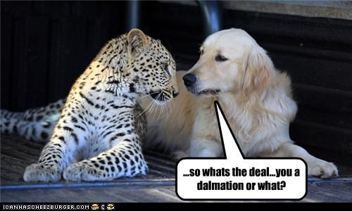 big cats,cheetah,confused,dalmatians,dogs,golden retriever,Interspecies Love,what are you
