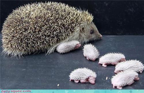 hedgehog,mama,trivia