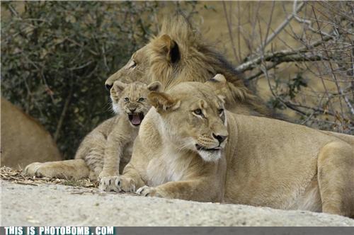 Animal Bomb animals cute rawr simba - 3548224256