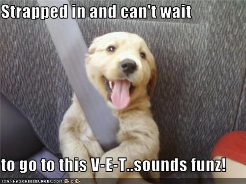 car,golden retriever,puppy,seat belt,vet