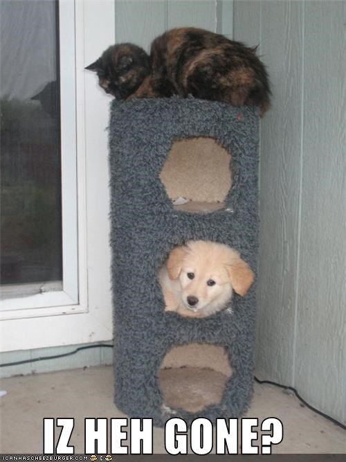 cat dogs golden retriever is he gone tower - 3548835072