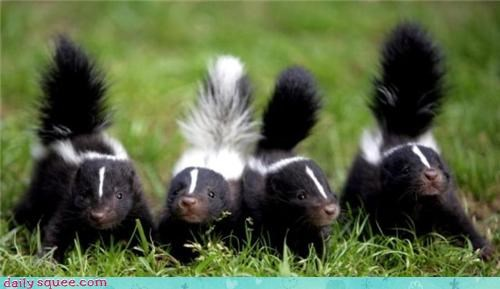 cute face skunk - 3549464320