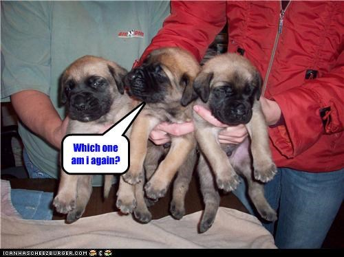 bullmastiff confused Hall of Fame puppy question - 3551622656