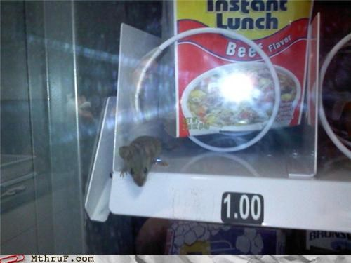 busted call the fda cubicle fail cup o noodle disease vector gross health code violation health food infestation infiltrator mouse office kitchen osha pest rodent snack machine sneaky sodium spoiled uninvited vending machine vermin