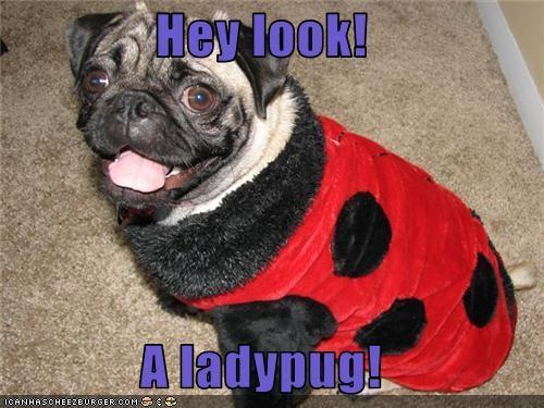 best of the week costume Hall of Fame ladybug pug - 3556121088