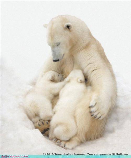 cub,cubs,polar bear
