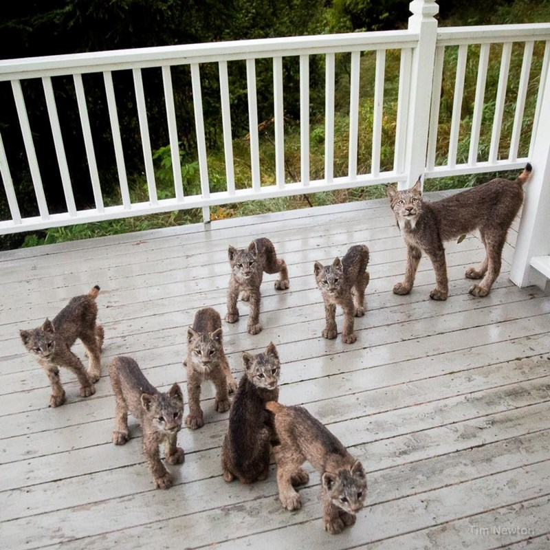family of lynx on the porch