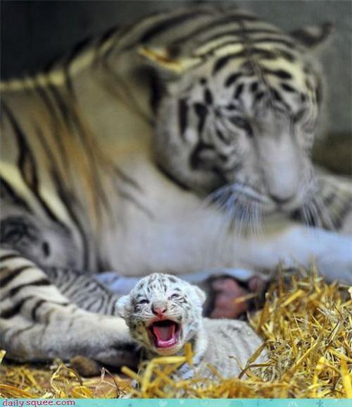 cub kitten tiger - 3559716608